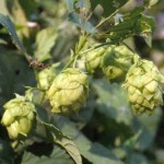Victory Brewing – 'Wet Hopped' Contest for Home Brewers